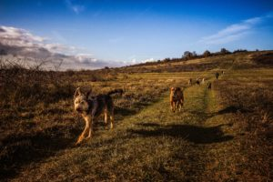 Dog walking in Aberdeen; dogs in a group out running in the countryside