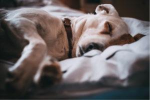 'Dog walking in Aberdeen; dog comfortably asleep after a good run